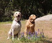 Pair of Labrador dogs sitting obediently waiting for instruction poster