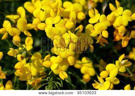 Lotus corniculatus var. corniculatus