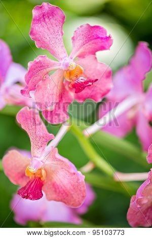 Vanda Usha Pink Orchid Flower