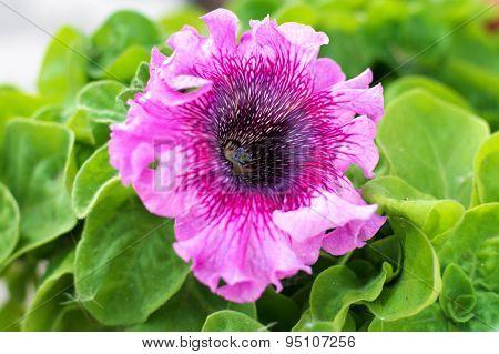 Petunia Pink