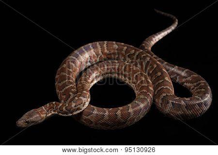 Hispaniolan boa, Chilabothrus or epicrates striatus