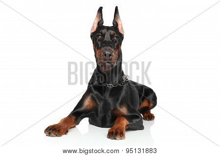 Young Doberman Lying On White Background