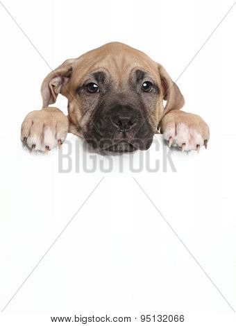 Amstaff Puppy Above Banner
