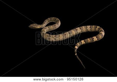 The male morelia spilota harrisoni python on black background