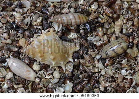 Asia Myanmar Seashells