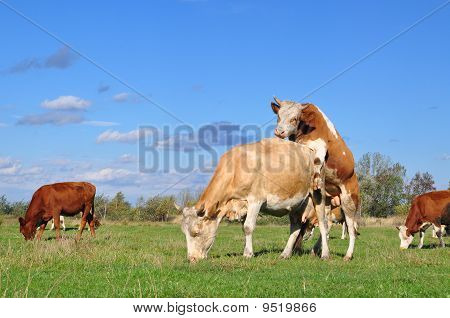 A young bull on a cow on a summer pasture in a rural landscape under clouds. poster