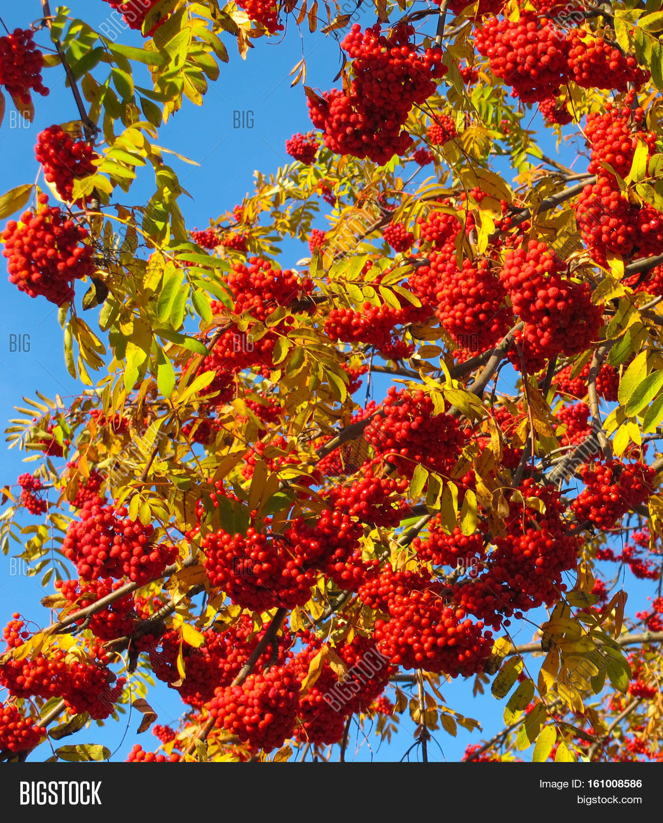 Autumn Rowan Tree Red Image Photo Free Trial Bigstock