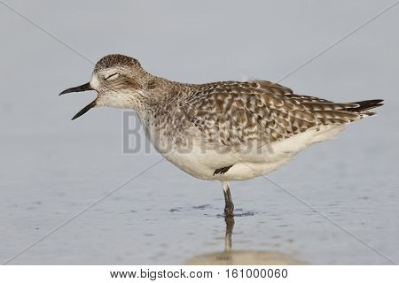 Black-bellied Plover Yawning On A Florida Beach