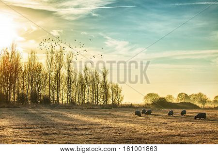 Stunning frosty and misty rural morning with a flock of sheep grazing. Sun rising over the winter trees and birds flying into the sunlight