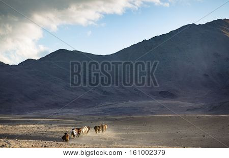 wild mongolian horses running in a steppe