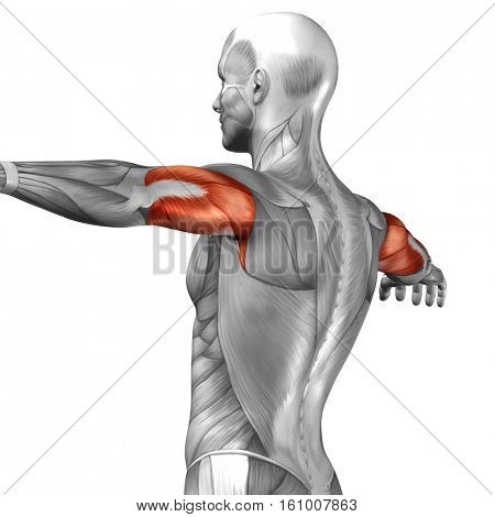 Concept or conceptual 3D illustration triceps human anatomy or anatomical and muscle isolated on white background