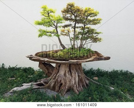 Bonsai and Penjing landscape with miniature forest of deciduous trees in a tray