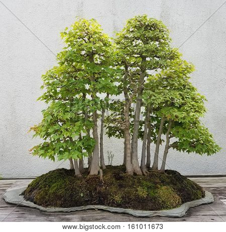Bonsai and Penjing landscape with rocks and miniature trees in a tray