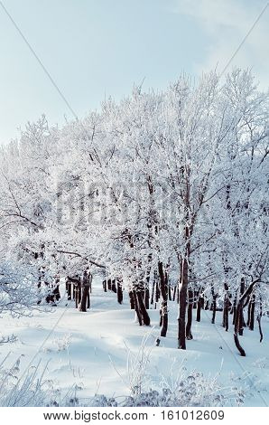 Winter landscape in cloudy evening - winter forest grove with row of snowy winter trees. Winter scene of winter forest in cloudy winter evening