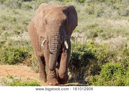 African Bush Elephant Walking Up To You