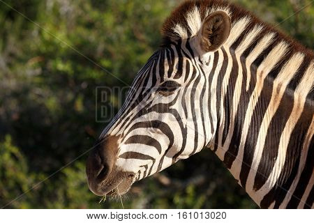 Burchell's Zebra Eating On A Leave