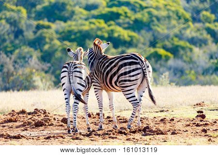 Burchell's Zebras Staring To The Bushes
