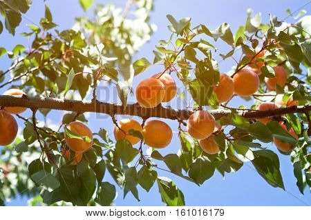 delicious apricot tree branch with growing apricots