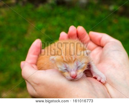 Newborn baby kitten in girl's hand. New born baby cat. Red kitty in caring hands. Cute cat close photo. Lovely kitty sleeping in hands. Sweet baby cat closeup. Blind kitten idyllic image. Newborn life