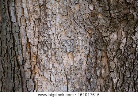 textured wood bark of plane tree background