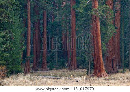 Big Trees In California