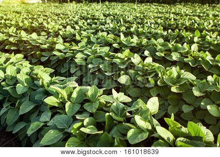 Rows of young green organic soybean plants