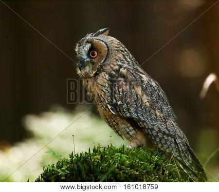 Asio otus - Long-eared owl siting oh the stump