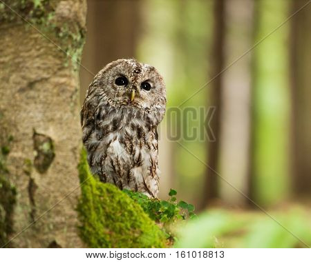 Strix aluco -portrait of Brown owl in forest poster