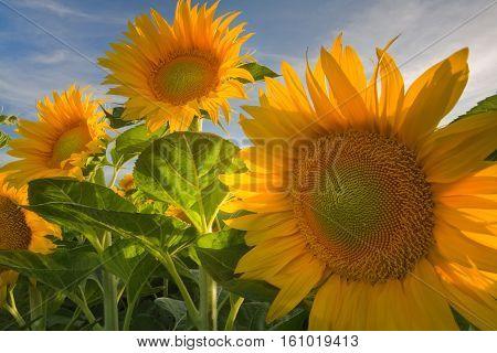 Sun flowers basking in the sun in a farm in Davis California