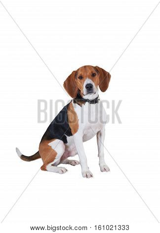 Beautiful dog portrait isolated on white background. Happy beagle sitting and look to the camera.