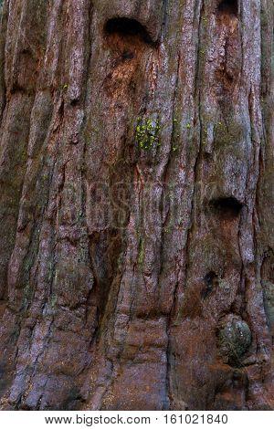 Giant Sequoia Background