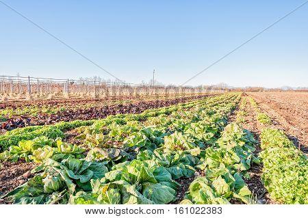 Radicchio Field In Sunny Day