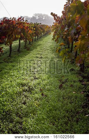 Autumn Vineyard In The Morning