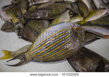 Surgeon fish on the table for food. Coral fishes in pile for selling and cooking. Surgeonfish as cooking ingredient. Asian seafood cuisine. Raw fish in marketplace. Striped surgeonfish bunch catch