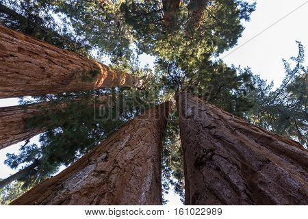 Looking Up At Giant Trees
