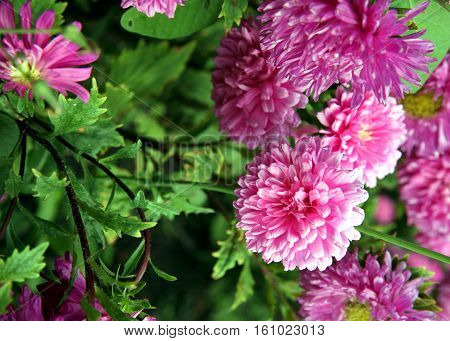 Autumn Flowers. Pink Astra.
