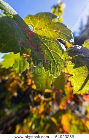 Autumn Colors In The Grape Leaves