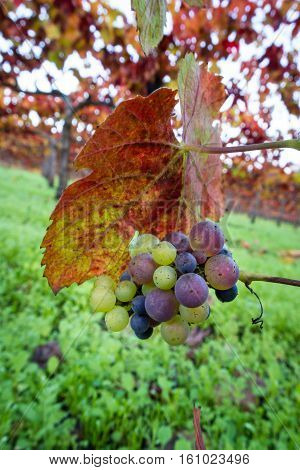 Grapes Left On The Vine In Autumn