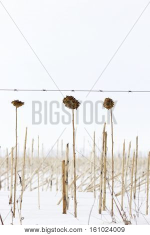 vertical image of three dead sunflower stalks left unharvested sitting in the snow in the cold winter time.