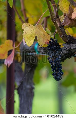 Rotten Grapes On The Vine