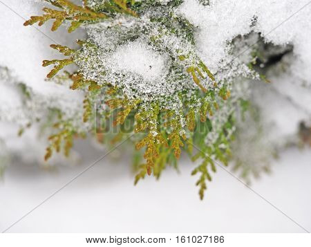 Thuja branch under heavy snow and ice