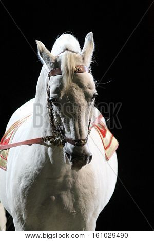 Portrait Of A Thoroughbred Lipizzaner Horse