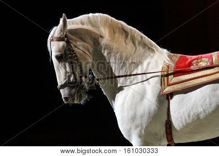 Side view closeup of a beautiful lipizzaner show horse