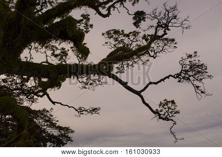 Big tree on sunset sky background. Huge tree in forest. Outdoor traveling and hiking. Black tree branch silhouette on sunset sky. Romantic forest image. Evening in forest camp under tree. Walk in park
