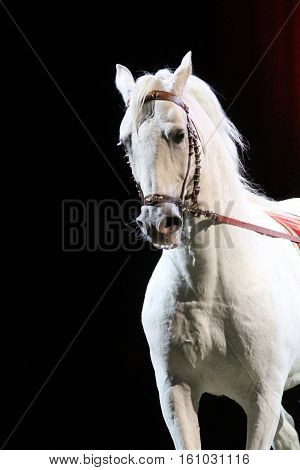 Side view portrait of a thoroughbred lipizzaner horse