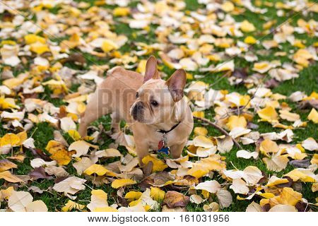 French Bulldog - Canis lupus familiaris, Mature Puppy in Foliage Background