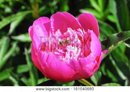 Bee (Apis mellifera) on a bright pink peony (Paeonia)