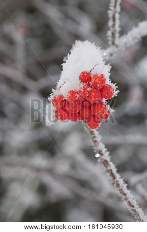 Small clump of snow covered orange mountain ash berries on a branch lined by individual snowflakes. Multiple blurred gray branches are in the background. Shallow depth of field.