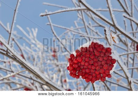 Close up of large clump of snow covered orange mountain ash berries from below. Multiple frosty branches are in the background. A blue cloudless sky is also in the background. Shallow depth of field.