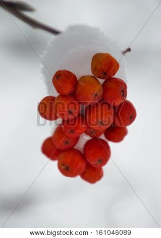 Close up of small clump of snow covered orange mountain ash berries on a branch that is in the upper corner of the photo. Gray sky is in the background. The branch is blurred in a shallow depth of field.